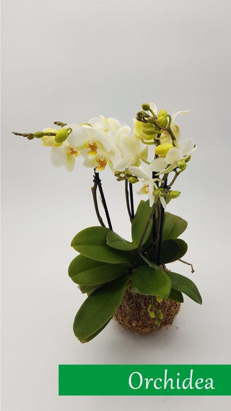13_orchidea