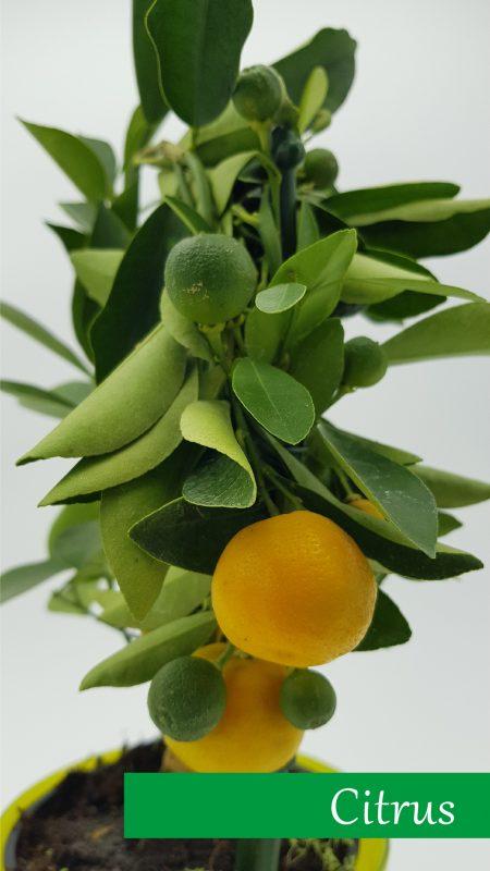 5_citrus