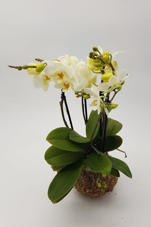 mossfera_orchidea