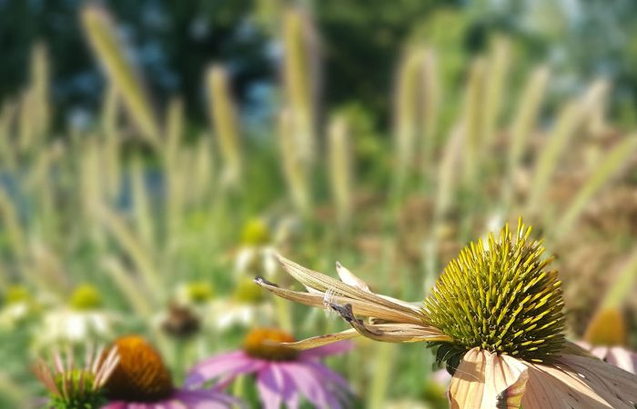sviluppo di giardino informale agosto (2)