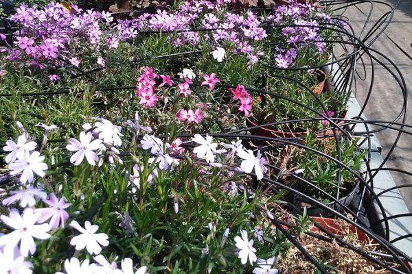 vivaio ossola giardini (14)
